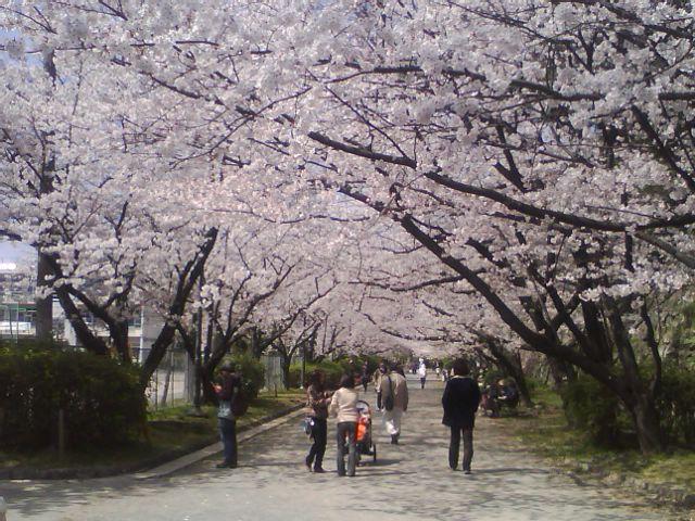 舞鶴中学の桜