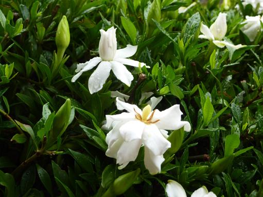 くちなしの花2