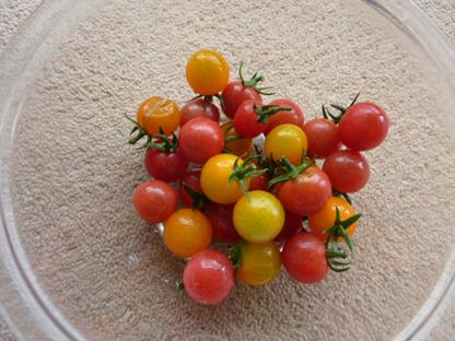 トマト収穫2