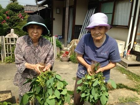 枝豆収穫2