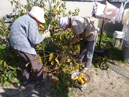 柿の収穫2
