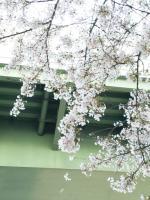 国際センター駅の桜2