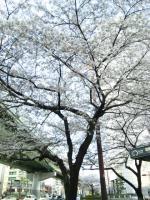 国際センター駅の桜