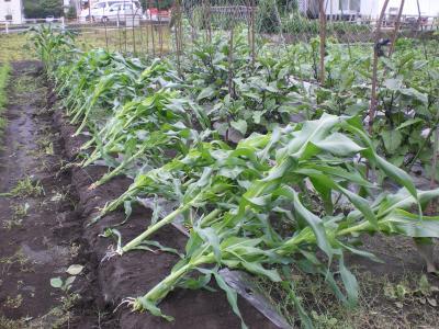 トウモロコシ被害