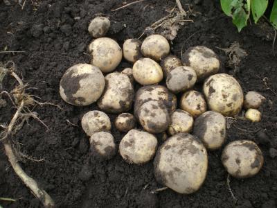 ジャガイモ収穫1