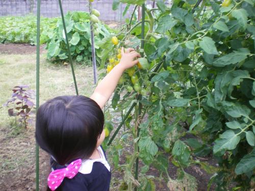 ふうかトマト収穫_convert_20110723180917