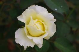 バラ黄色_convert_20110811171832