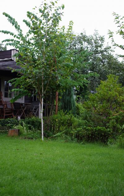 芝生の庭白樺_convert_20110825172831