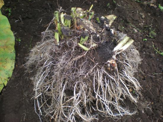 サトイモ掘り起し_convert_20110911172606