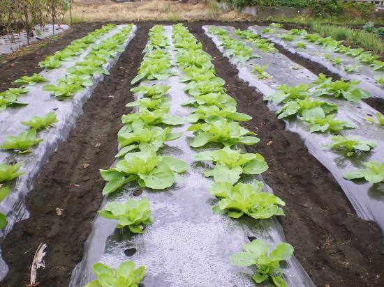 白菜畑_convert_20111003083814
