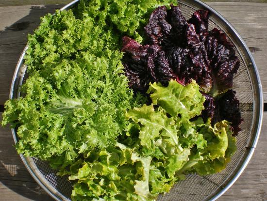 収穫レタス_convert_20120130170729