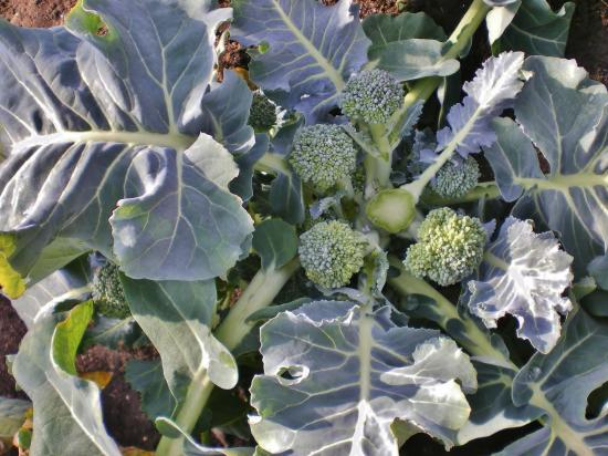 ブロッコリー収穫後_convert_20120224164001