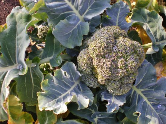 ブロッコリー収穫前_convert_20120224164047