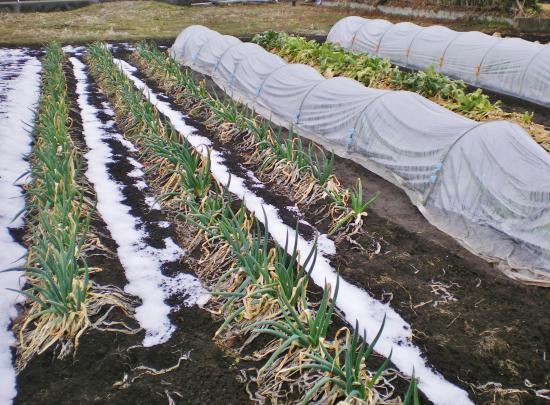 ネギカキ菜畑_convert_20120302103244