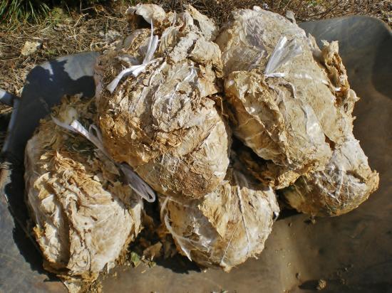 収穫白菜_convert_20120313151805