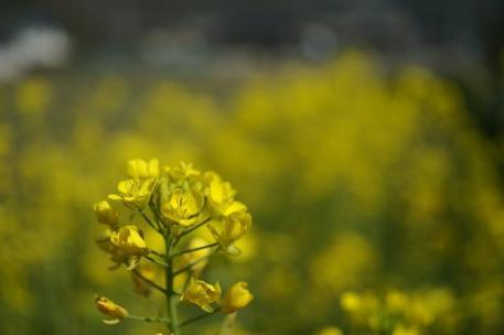 春はやっぱり菜の花かな?