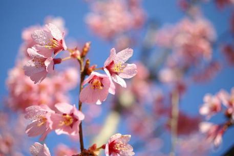 春と言えば・・・桜でしょう♪河津桜かな?