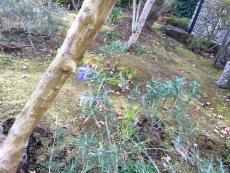 12月も半ばだというのにまだ花が咲いてる。ローズマリーってこんなに長く咲くもんだっけ?夏にがっつり 刈り込んだからよく咲くようになったのか?それとも手入れしたから普段の年より余計気にかけるようになっただけだろうか?