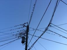 上から物の落ちる音が聞こえたので、何だろうと道を見ると鳥のフンだらけ。見上げたら、電線にムクドリがびっしり。この時間帯、電線の下は気をつけて歩かねばならんな。