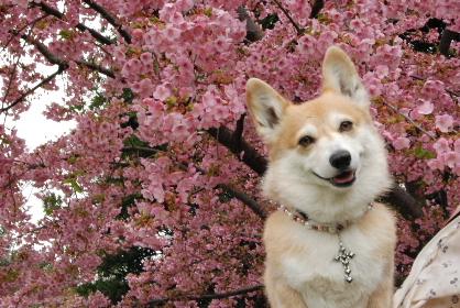 2010.3.2河津桜と菜の花♪0033