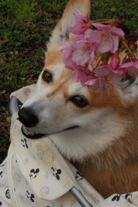 2010.3.2河津桜と菜の花♪0030