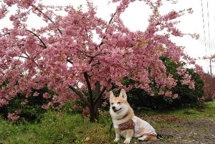 2010.3.2河津桜と菜の花♪0004
