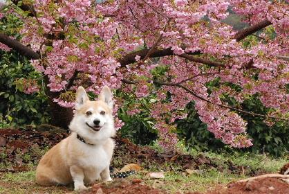 2010.3.2河津桜と菜の花♪0074