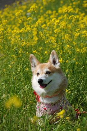 2010.3.22遠賀川の菜の花♪0005