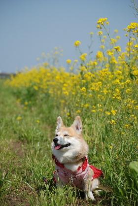 2010.3.22遠賀川の菜の花♪0037