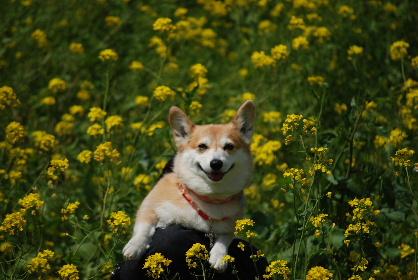2010.3.22遠賀川の菜の花♪0031