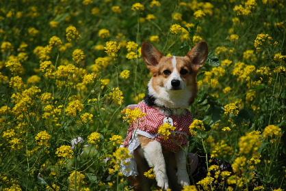 2010.3.22遠賀川の菜の花♪0035