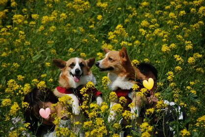 2010.3.22遠賀川の菜の花♪0030