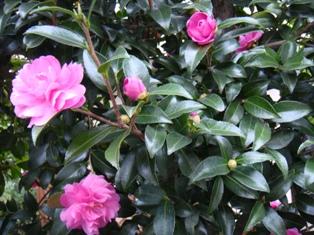 山茶花がきれいに咲いています