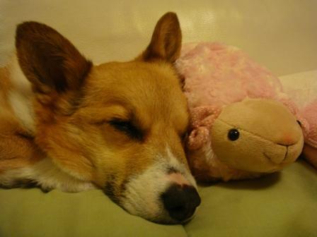 羊さんと寝る!