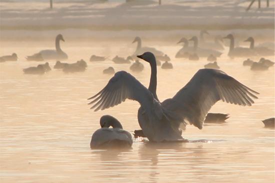 冬の朝(瓢湖) 018-2
