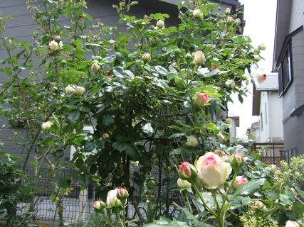 咲き始めのピエール・ド・ロンサール2