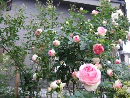 咲き始めのピエール・ド・ロンサール3