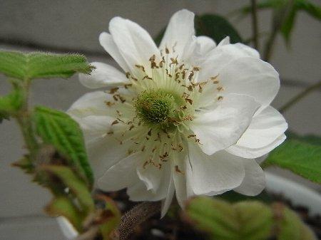 八重咲きキイチゴ