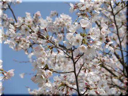 桜を愛でるパグ20101