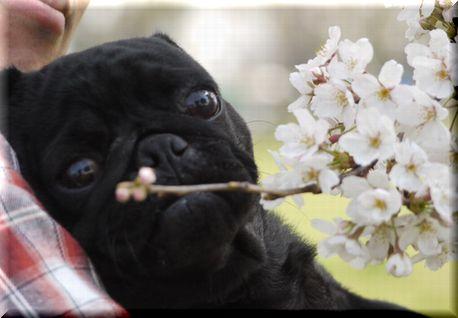 桜を愛でるパグ20102