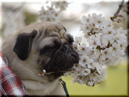 桜を愛でるパグ20103