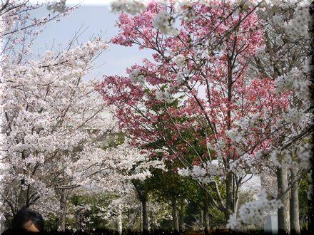 桜を愛でるパグ20104