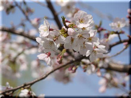 桜を愛でるパグ20108