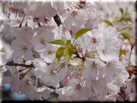 桜を愛できったパグ20101