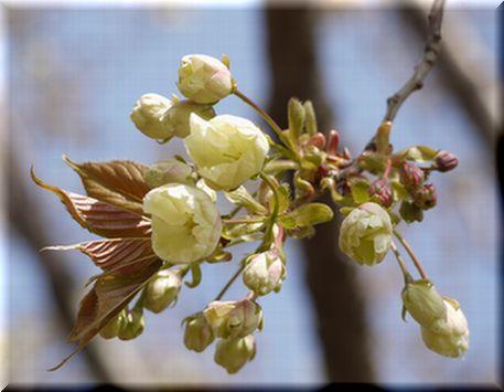 桜を愛できったパグ20102