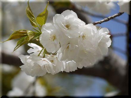 桜を愛できったパグ20104