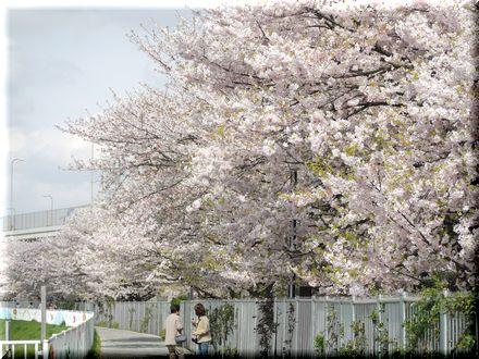 桜を愛できったパグ20107