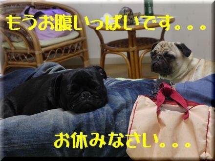 看板犬ボステリ日向ちゃんと対決!1