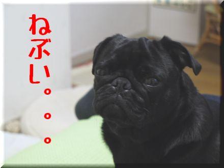 看板犬ボステリ日向ちゃんと対決!3