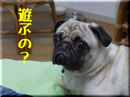 看板犬ボステリ日向ちゃんと対決!2